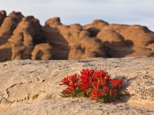 Indian Paintbrush in the Sandstone Fins