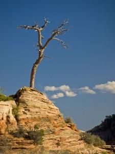 Zions Lone Tree