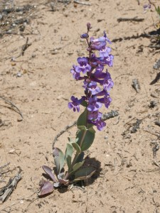 Penstemon rydbergii