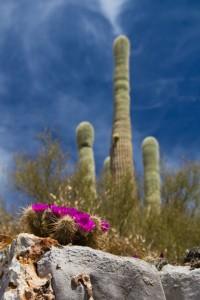 Saguro & Cactus Blooms